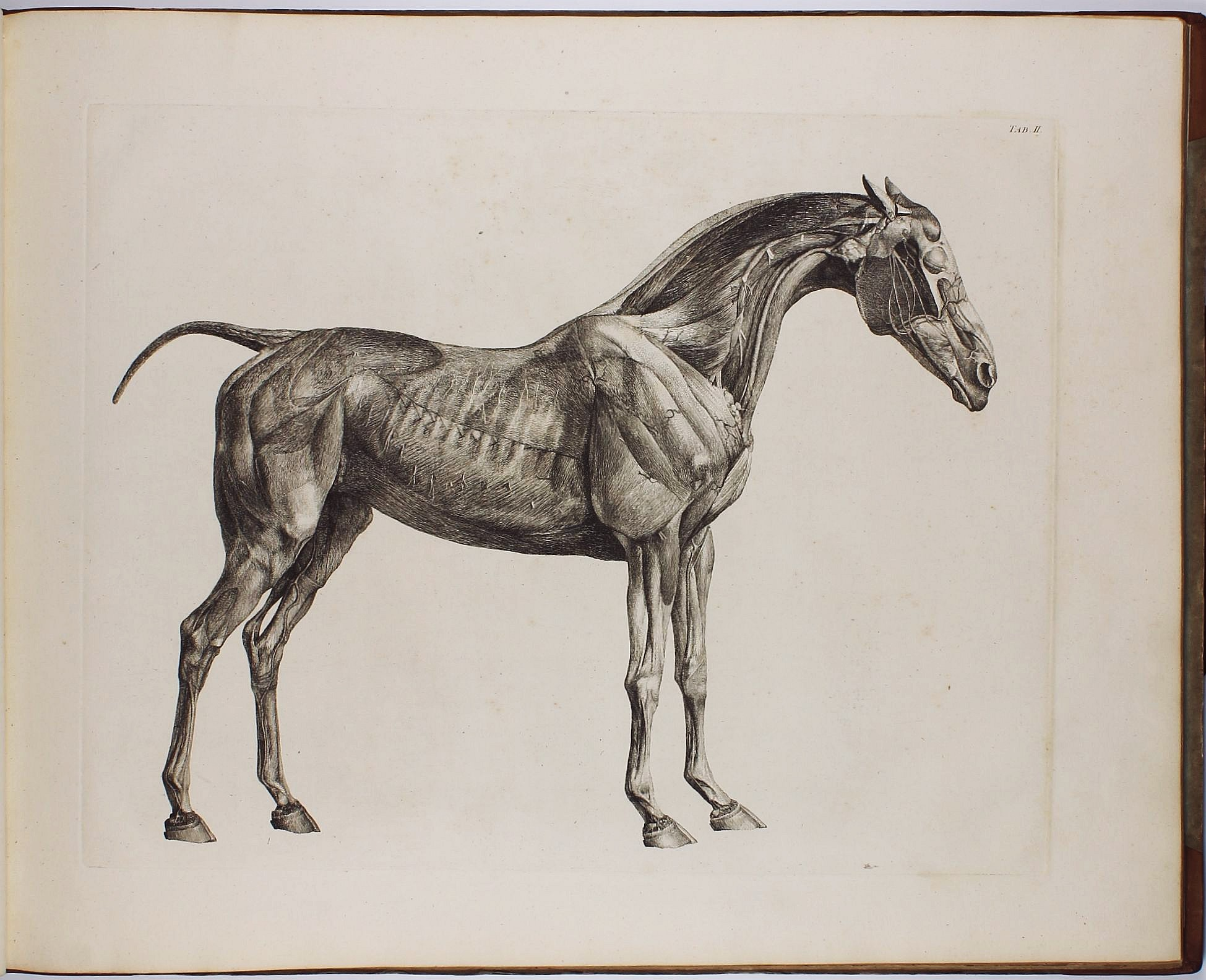 The Anatomy of the Horse. Including A particular Description of the ...