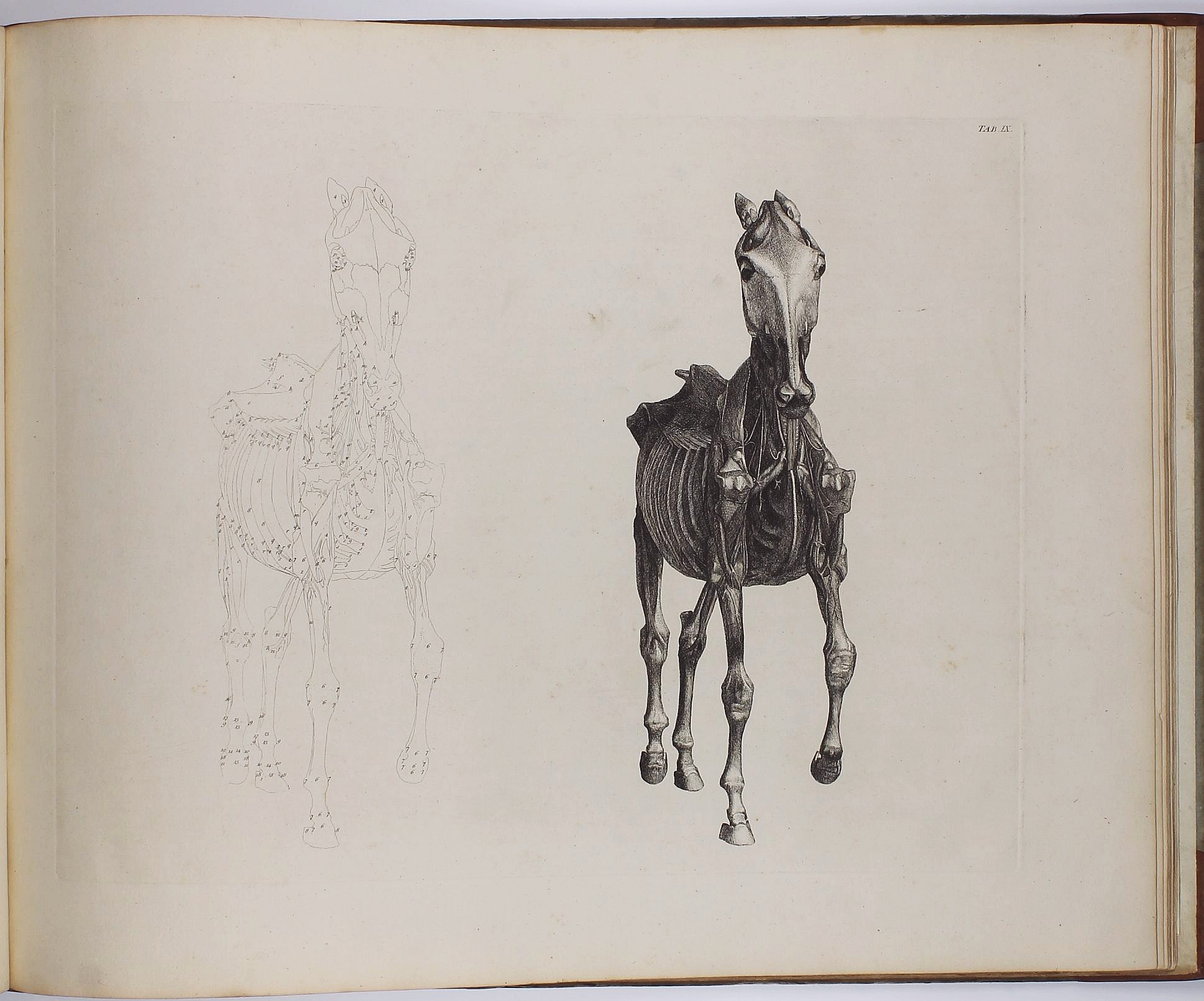 The Anatomy Of The Horse Including A Particular Description Of The